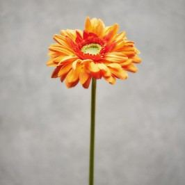 FLORISTA Gerbera - oranžová