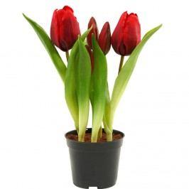 FLORISTA Tulipány v květináči - červená