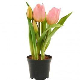 FLORISTA Tulipány v květináči - sv. růžová